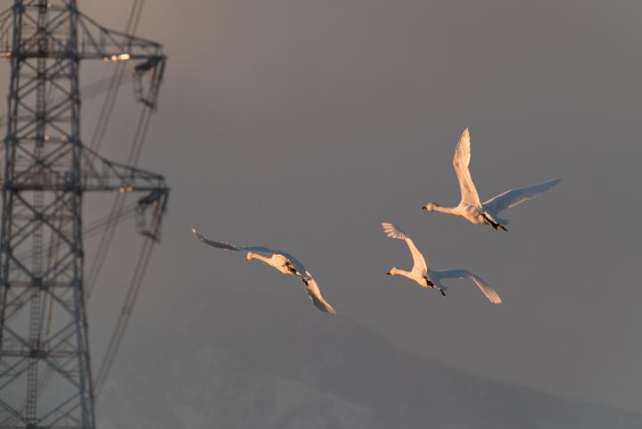 swans_160119_04.jpg